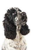 Black and white english cocker spaniel closeup — Stock Photo