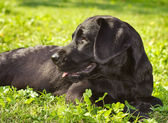 Black labrador retriever laying in the grass — Stok fotoğraf