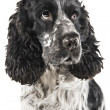 Black and white english cocker spaniel — Foto de Stock