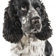 cocker spaniel inglese bianco e nero — Foto Stock