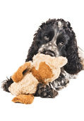 Black and white english cocker spaniel chewing on a toy — Stok fotoğraf