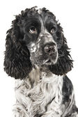 Black and white english cocker spaniel — Stock Photo