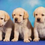 Yellow labrador retriever puppies on blue background — Stock Photo