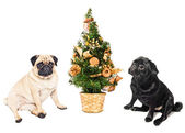 Two pugs sitting by a Christmas tree — Stock Photo