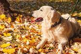 Golden retriever in the park — Stock Photo
