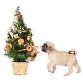 Küçük bir Noel ağacı ile pug yavrusu — Stok fotoğraf