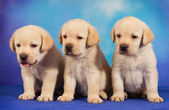 Yellow labrador retriever puppies on blue background — Stock Photo