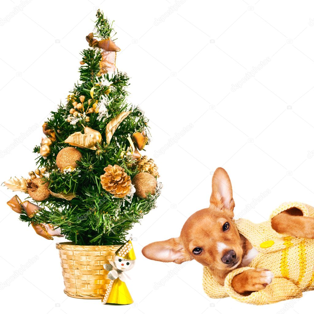 Doberman pincher puppy laying next to a Christmas tree, isolated on white  — Stock Photo #7732189