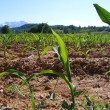 Foto Stock: Corn grown