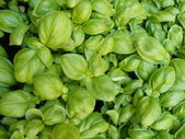 Fresh basil — Stock Photo