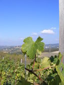 Rows of Grape Vines — Stock Photo