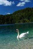Beautiful white swan in blue Alps lake — Stock Photo