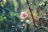 Větve keř s růžovými pupeny closeup — Stock fotografie