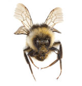 Flying Bee isolated — Stock Photo
