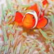 Clownfish — Stock Photo #7692971