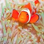 Clownfish — Stock Photo