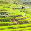 Stock Photo: Paddy rice fields