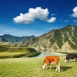 Grazing cows — Stock Photo #6817288