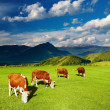 Grazing cows — Stock Photo #6954018