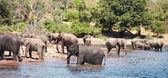 Herd of elephants — Stock Photo