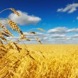 Wheat field — Stock Photo #7143064
