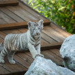 White tiger cub. - Stock Photo