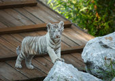 White tiger cub. — Stock Photo