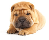 Sharpei sleeping — Stock Photo