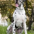 Great Dane Harlequin — Stock Photo