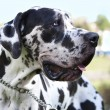 Stock Photo: Great Dane Harlequin