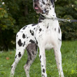 Great Dane Harlequin — Stock Photo #6941707