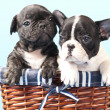 French bulldog puppy - Stockfoto