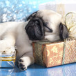 Pug  puppy and gifts — Stock fotografie