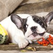 Stock Photo: French bulldog puppy