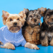 Puppy yorkshire terrier — Stock Photo #7620451