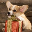 Welsh Corgi Dog - Stockfoto