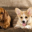 Welsh Corgi french  puppy and — Stok fotoğraf