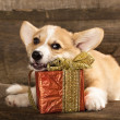Welsh Corgi Dog — Stock Photo
