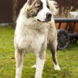 Central Asian Shepherd Dog — Stock Photo