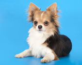 Chihuahua on blue background — Stock Photo