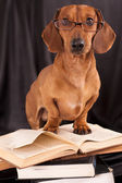Dogs dachshund in glasses — Stock Photo