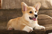 Welsh Corgi french puppy — Stock Photo