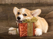 Cachorro welsh corgi — Foto Stock