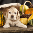Spaniel puppy — Stock Photo