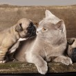 French bulldog puppy and British cat - Stockfoto