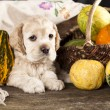 Stock Photo: Puppy Spaniel
