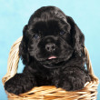 Cocker Spaniel puppy — Foto Stock