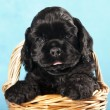 Stock Photo: Cocker Spaniel puppy