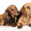 Dachshund dog — Foto de Stock