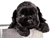 Cocker Spaniel puppy — Stock Photo